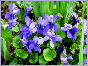 Violettes - Fijolek