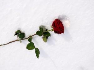roza na sniegu
