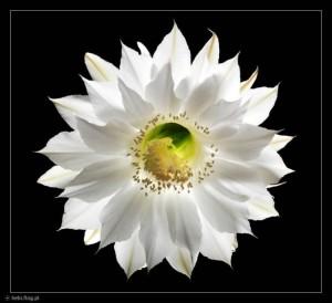 kaktus kwitnie w nocy