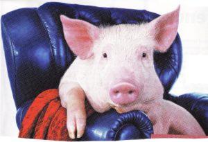 prosiak, swinia