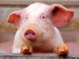 swiania, cochon